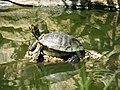 Terrapin - Lagos Zoo - The Algarve, Portugal (1736207942).jpg