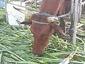 Tethered cattle eating.JPG
