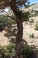 Tetraclinis articulata kz20 Morocco.jpg