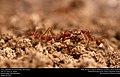 Texas Leafcutter Ants (Formicidae, Atta texana) (29196634101).jpg