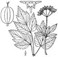 Thaspium barbinode BB-1913.png