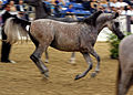The Arabian Stallion Farhoud Al Shaqab (8309185618).jpg