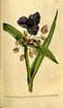 The Botanical Magazine, Plate 105 (Volume 3, 1790).png