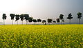 The Mustard field and the winter morning.... (11600488834).jpg