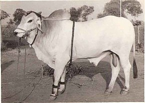 The Ongole Bull of Moses.jpg