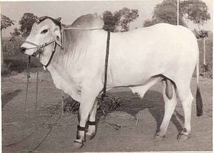 Cattle - An Ongole bull
