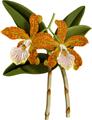 The Orchid Album-01-0080-0026-Cattleya velutina-crop.png