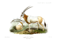 The book of antelopes (1894) Oryx leucoryx.png