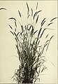 The book of grasses - an illustrated guide to the common grasses, and the most common of the rushes and sedges (1912) (14740563286).jpg
