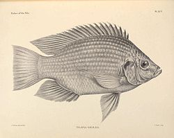 The fishes of the Nile (Pl. XCV) (6815514384).jpg