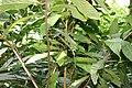 Theobroma cacao 40zz.jpg