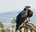 Thick-billed Raven Courtship, Simien Mountains, Ethiopia (2457853739).jpg