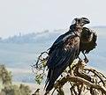 Thick-billed Raven Courtship, Simien Mountains, Ethiopia (2457853739).jpg