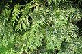 Thuja plicata Zebrina kz1.jpg