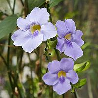Thunbergia grandiflora-IMG 9427.jpg