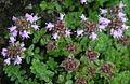 Thymus quinquecostatus Ibukiyama.jpg