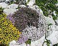 Thymus vulgaris7.JPG