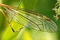 Tipula.flavolineata9.-.lindsey.jpg