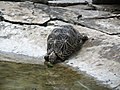 Tortoise Karnataka.jpg
