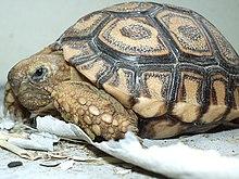Tortoise of Namibia.jpg