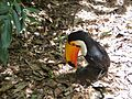 Toucan (Iguazu national park).JPG