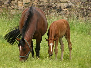 300px Trakehner mare and foal Feeding A Lactating Mare