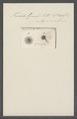 Trichoda granata - - Print - Iconographia Zoologica - Special Collections University of Amsterdam - UBAINV0274 113 15 0018.tif