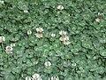 TrifoliumRepensFlowers.jpg