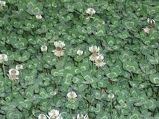 Ďatelina plazivá (Trifolium repens)