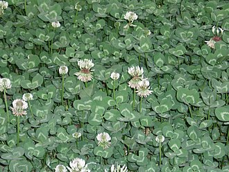 Legume - White clover, a forage crop