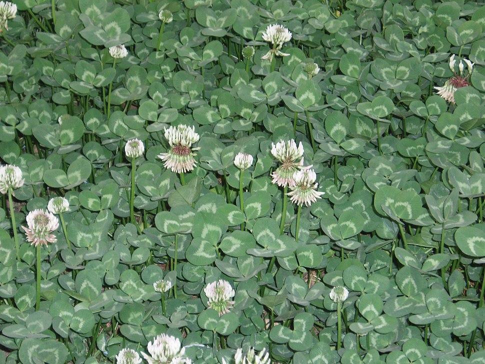 TrifoliumRepensFlowers