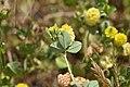 Trifolium campestre 01 02.jpg
