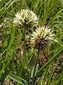 Trifolium montanum20110612 151.jpg