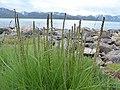 Triglochin maritimum inflorescence (25).jpg