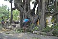 Trimming Banyan Tree - Taki Road - North 24 Parganas 2017-05-08 7166.JPG