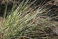 Tripsacum dactyloides var. floridanum 4zz.jpg
