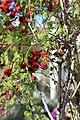 Tropaeolum tricolor BotGardMunich 20170225 D.jpg