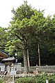 Tsuga sieboldii in Yahashira Jinja Shrine, Mifune-cho Toyota 2019.jpg