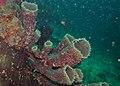 Tube Sponge (Callyspongia aerizusa) covered with Synaptid Sea Cucumbers (Synaptula sp.) (8489019443).jpg
