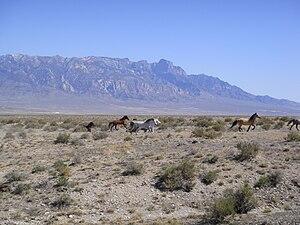 Feral horse - Feral horses in Tule Valley, Utah