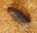 Turnip Moth. Agrotis segetum - Flickr - gailhampshire.jpg