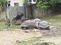 Turtles in Zoo Negara Malaysia (5).jpg