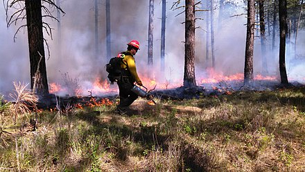Prescribed fire in ponderosa pine forest in eastern Washington, United States, to restore ecosystem health.