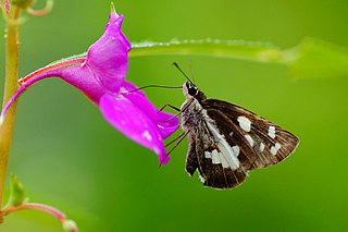 <i>Udaspes folus</i> Species of butterfly