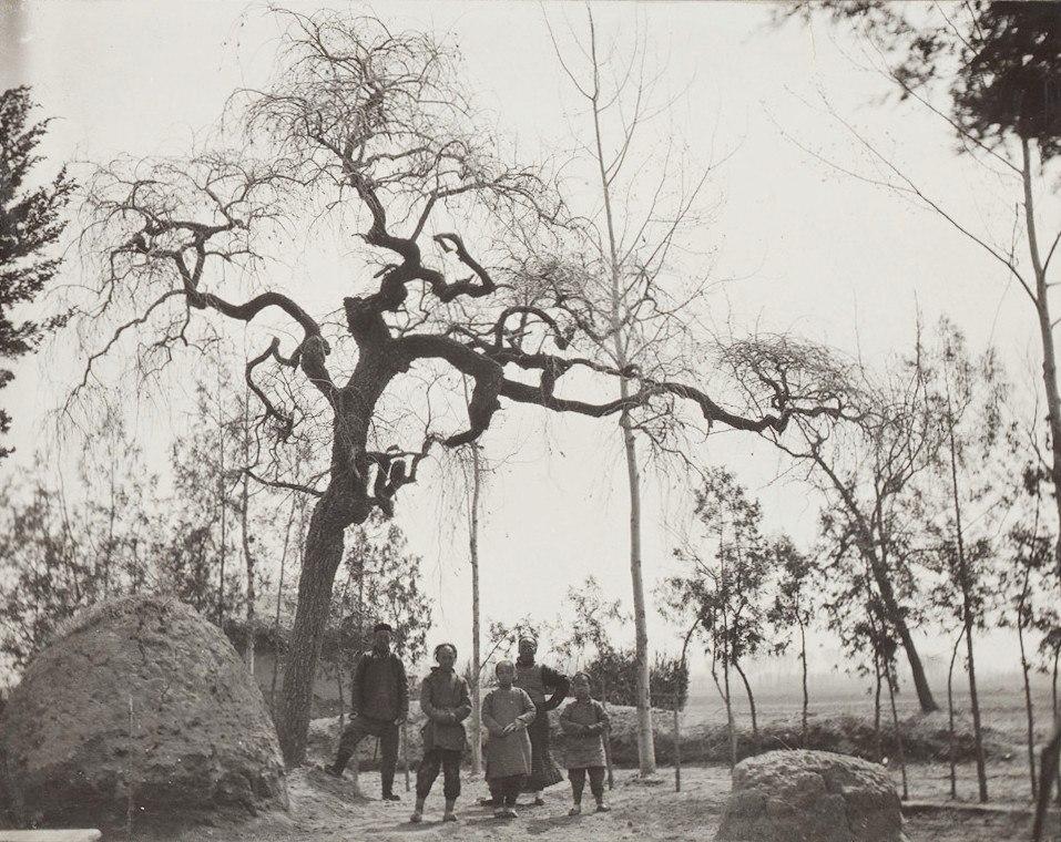 Ulmus pumila 'Pendula', 1908