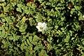 Unidentified Potentilla flower.jpg