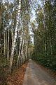 Upninkai birch.jpg