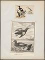 Uria grylle - 1700-1880 - Print - Iconographia Zoologica - Special Collections University of Amsterdam - UBA01 IZ17800283.tif
