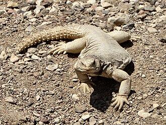 Uromastyx - Egyptian spiny-tailed lizard (Uromastyx aegyptia)