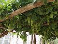 Uvas blancas en la Patagonia 01.JPG